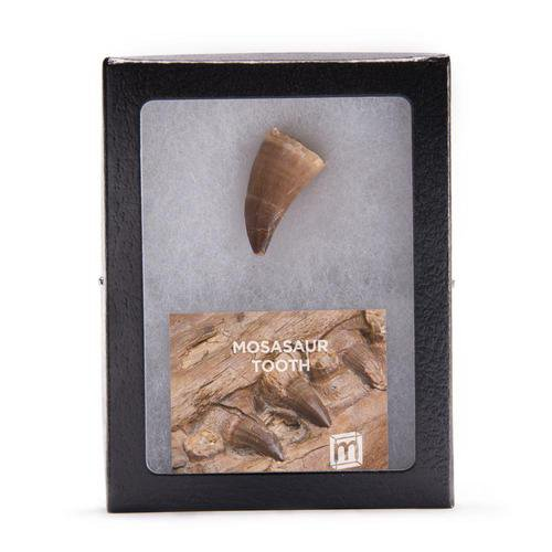 Mosasaur Tooth